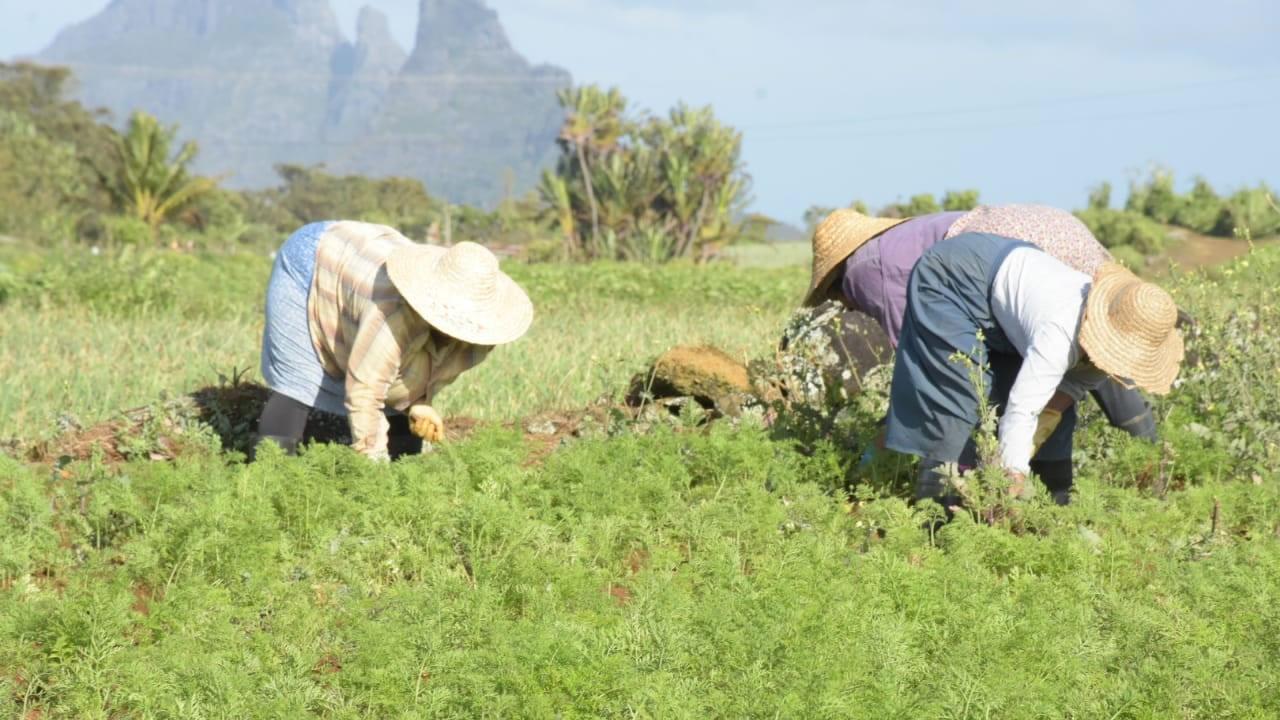 Située au pied du Trou aux Cerfs, la région Perrier, à Glen Park, est une aubaine pour les planteurs de légumes et nourrit plus de 300 familles.