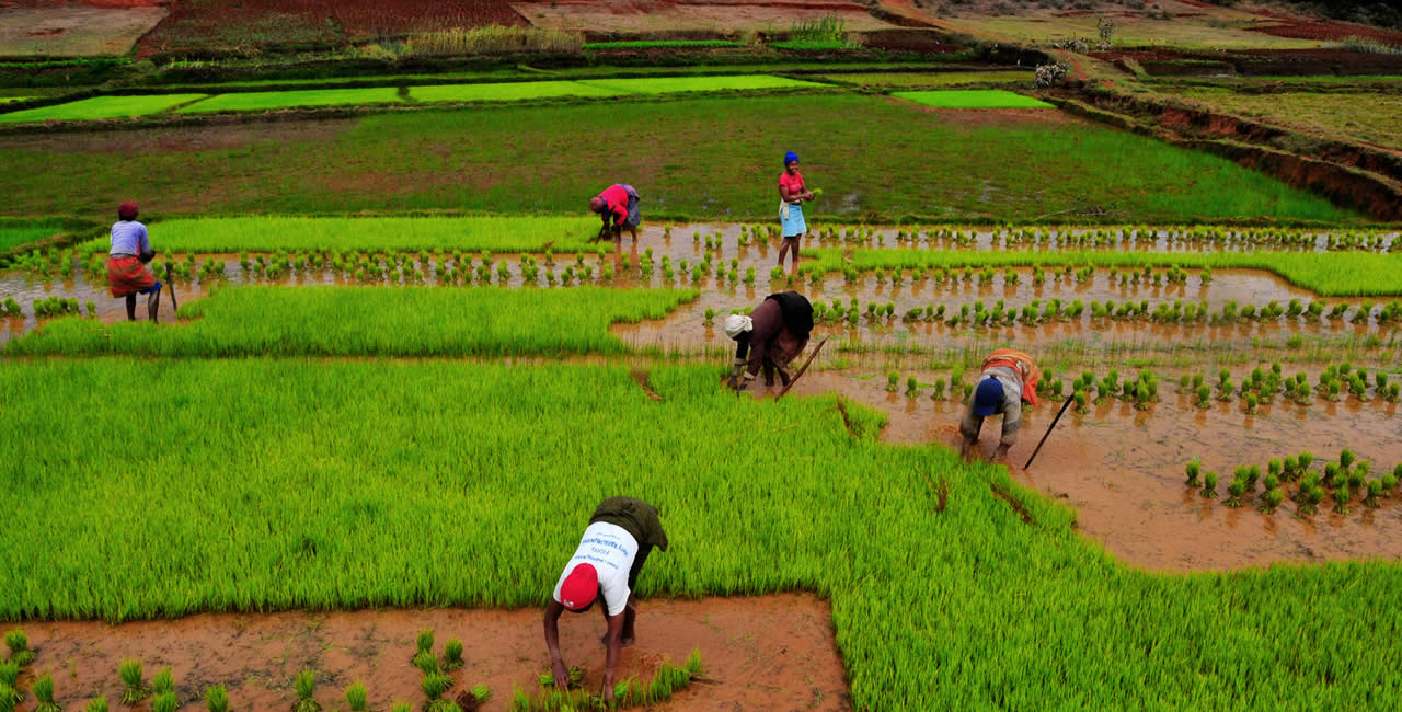 Rice cultivation in Madagascar.