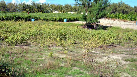 500 planteurs de Belle-Mare sans eau