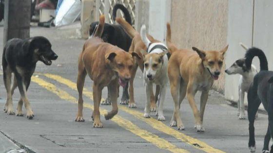 L'éternel problème des chiens errants : sont-ils plus rusés que les renards ?