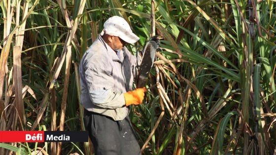 Agro-industrie : production sucrière de 11 709 tonnes à fin juin