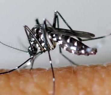 Le moustique vecteur du Zika redécouvert au Chili après 60 ans d'absence