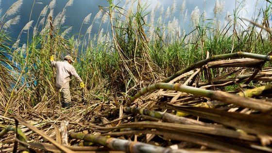Sucre : la tonne fixée à Rs 11 383 pour la récolte 2019