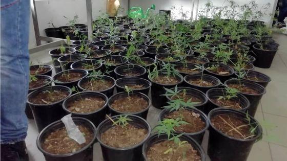 À Cottage : près de Rs 700 000 de cannabis déracinés