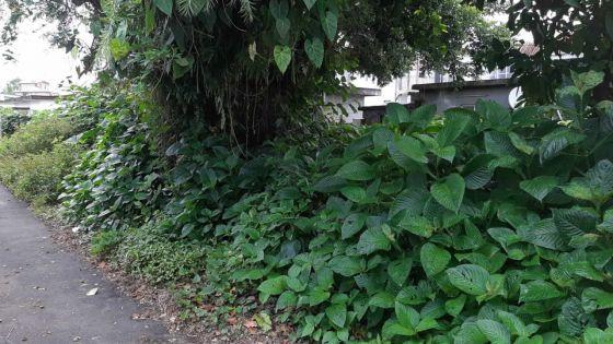 Courrier des lecteurs - àLislet-Geoffroy, Curepipe : un terrain en friche incommode les habitants