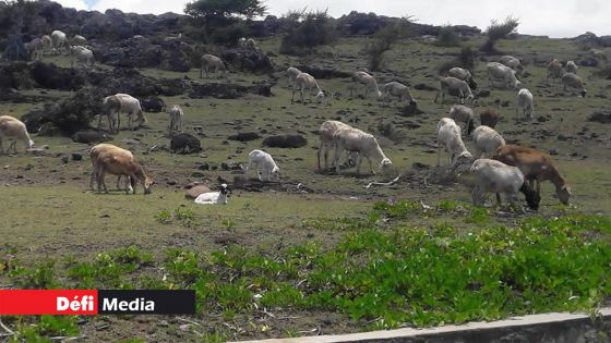 Fièvre aphteuse à Rodrigues : une centaine d'animaux de différentes fermes testés positifs
