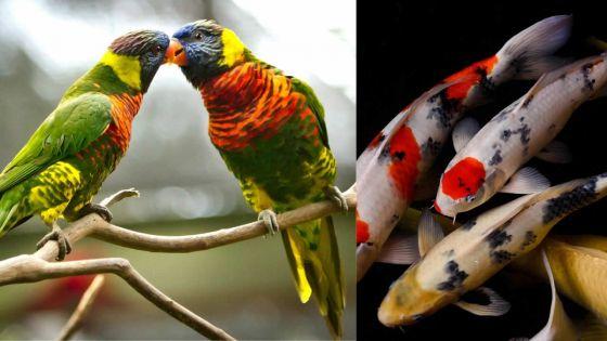 À Camp-de-Masque : des oiseaux d'amour et des poissons Koï volés chez un cameraman