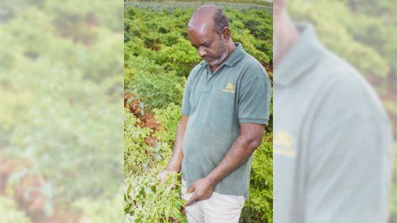 Saïd Bundhoo : producteur de piments
