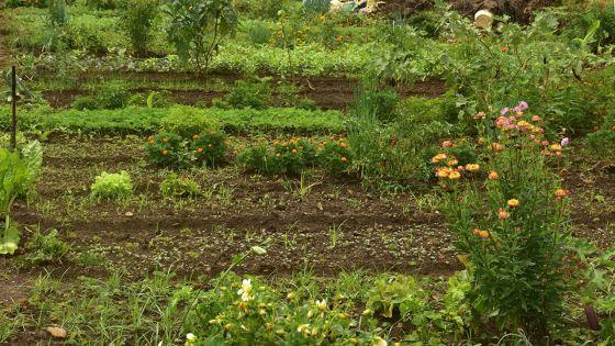 Grosses pluies : des plantations affectées à 50%