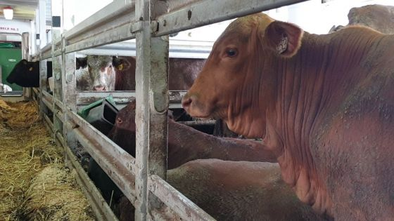 Importation de bétail : la continuité pour Agro-boss Feedlot Co. Ltd
