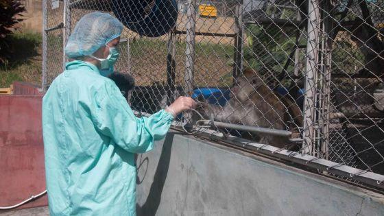 Exportation de singes : cinq firmes se partagent un marché d'un milliard
