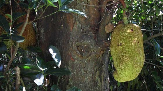 À Poudre-d'Or : un arbre fruitierqui dérange