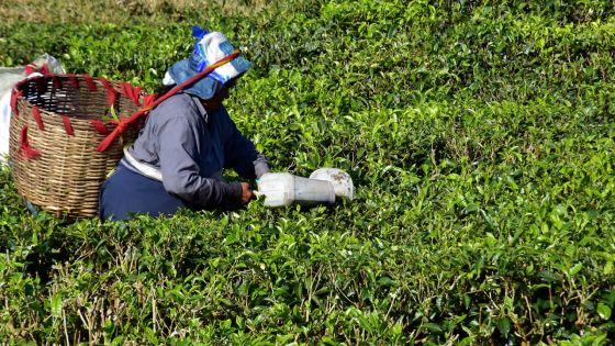 Production : le sucre dans la mélasse, le thé refait sa réputation