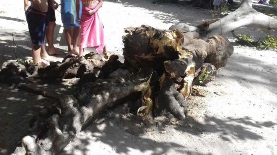 À Tamarin : la chute d'un arbre sur la plage provoque l'indignation