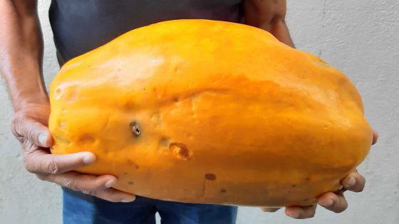 Il récolte une papayede huit kilos