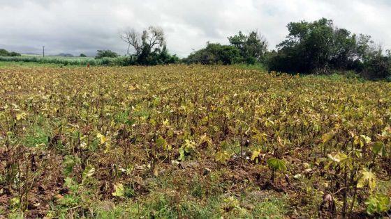 Vacoas -Un arpent de lalos brûlé «à cause d'un pesticide inapproprié»