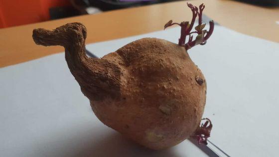 Insolite : une patate douce qui ressemble à un dodo !