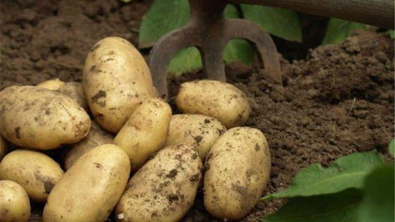 Pomme de terre : la production locale risqued'être affectée
