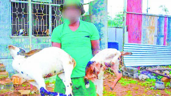 À Cité La Cure : un éleveur perd plus de 80 animaux ces trois derniers mois