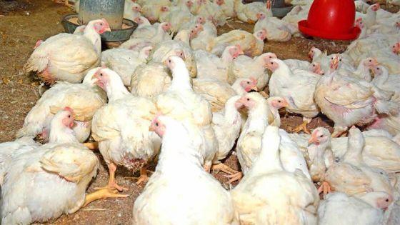 Consommation : le pouletcoûtera plus cher