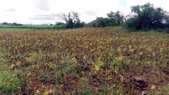 Méprise dans des produits : une récolte estimée à Rs 350 000 part en fumée