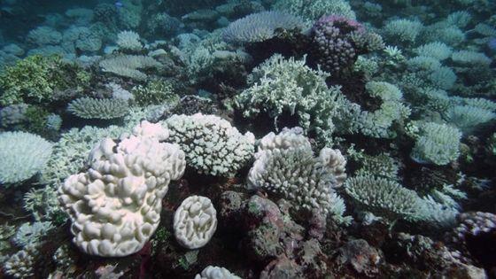 Culture de coraux : 20 000 boutures seront immergées