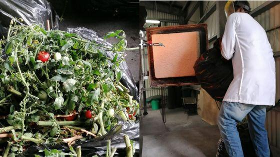Virus nuisible détecté sur des cultures de pommes d'amour : un millier de plants incinérés ce samedi