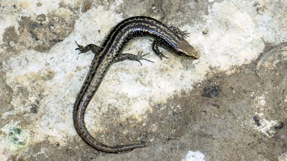 Conséquence du MV Wakashio : trois espèces de reptilesen danger d'extinction