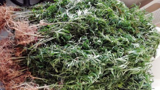 En 24 heures : saisie de Rs 414 540 de cannabis