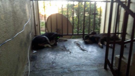 À Cap-Malheureux : inconvénients causés par des chiens élevés sur les paliers de la NHDC
