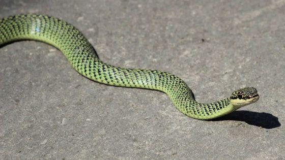 Où est le Golden Tree Snake aperçu à Quatre-Bornes ?
