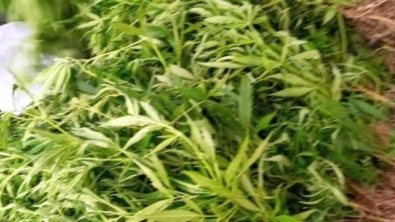 Au Morne : des plants de cannabis valant Rs 2,2 millions déracinés