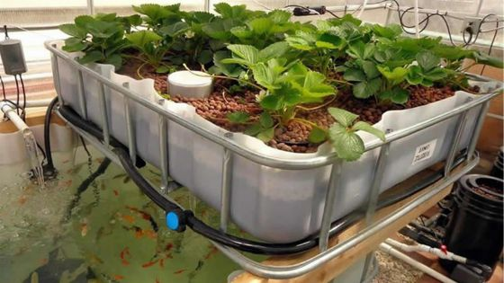 Aquaponique : une technologie qui tarde à décoller