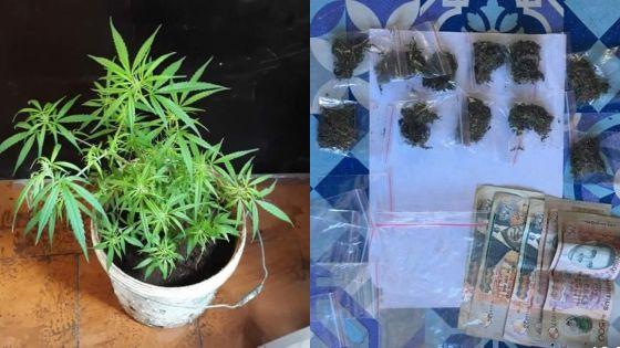 Trafic de cannabis : quatre arrestations par l'Adsu de Rose Hill