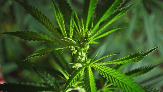 Un plant de cannabis retrouvé chez lui - Le suspect : «Mo même ki fine plante sa pie gandia la»