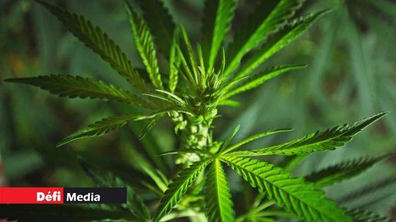 La Flora et Grand Bel-Air : 250 plants de cannabis déracinés par l'ADSU