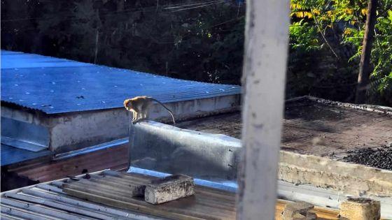 À Stanley, Rose-Hill : des habitants lancent un appel aux autorités pour capturer un singe
