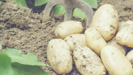 Agriculture - Pomme de terre : les planteurs ont perdu Rs 11 millions entre 2019 et 2020