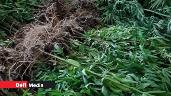 Procès contre trois habitants de l'Est : la juge Naidoo accepte que 685 plantsde gandia soient présentés en Cour