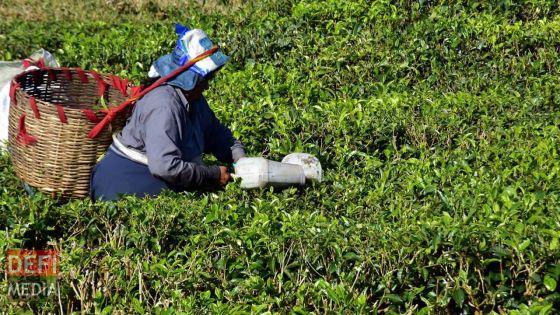 Agro-industrie - thé mauricien : une haussede production d'environ 25%