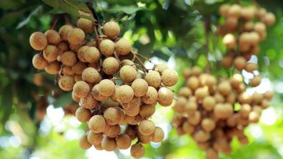Prévision du ministère de l'Agro-industrie -Longanes : une production de 100 tonnes attendue cette année