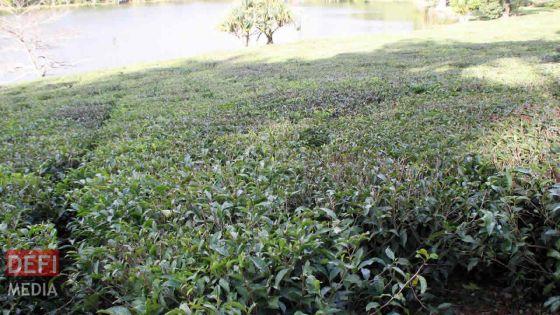 Confinement : deux tonnes de feuilles de thé n'ont pu être cueillies