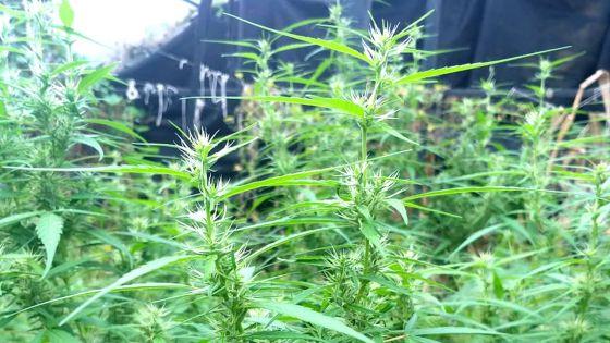 L'Adsu déracine des plants de gandia valant Rs 3 M