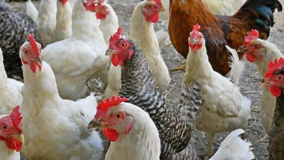 Un entrepreneur se fait déposséder de 1 500 poulets