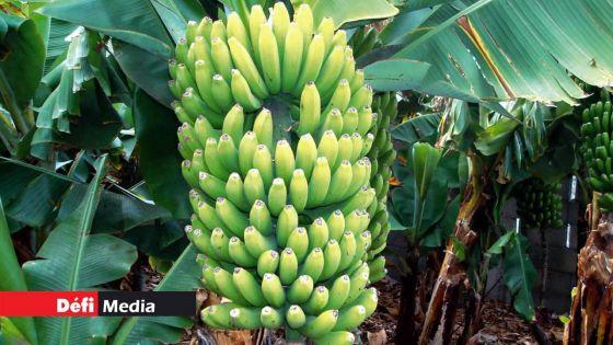Pailles : un voleur de bananes arrêté