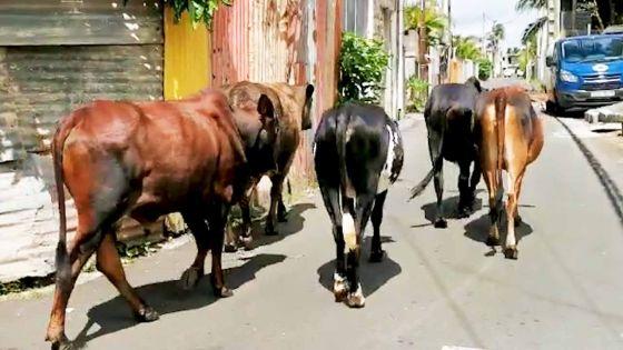 Couvre-feu Jour 6 : pas de confinement pour nos amis les bœufs
