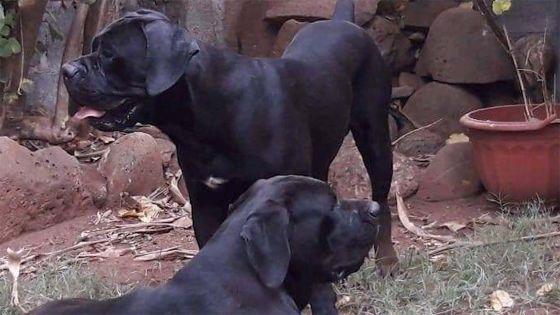 """Cane corso disparus: """"Donnez leur à manger s'il vous plaît"""", affirment les maîtres."""