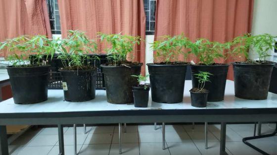 125 plants de gandia découverts par la CID de Mahébourg
