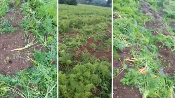150 kg de carottes volés à Plaine-Sophie