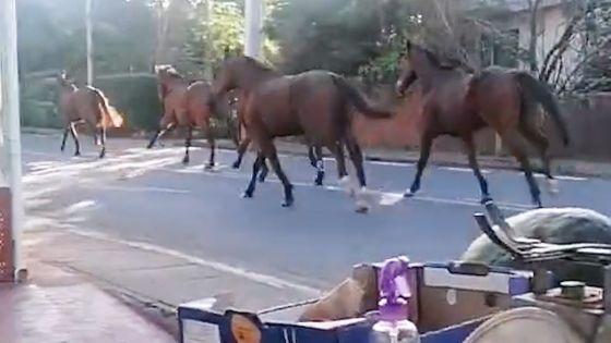 Pamplemousses : Des chevaux provoquent un accident, trois véhicules endommagés